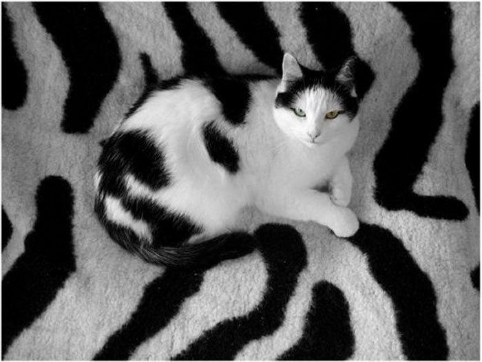 special chat ;o) Chat_vache